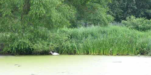 Turtle pond with high grass and an egret.